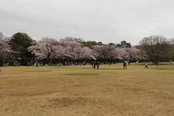 航空公園の桜#386914