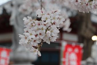 新光寺の桜#387156