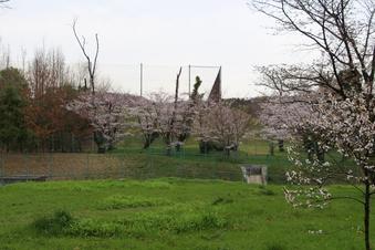 狭山湖周辺の桜#386938