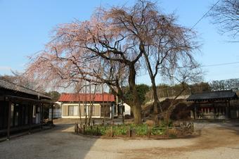 常楽院のしだれ桜