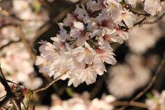 東川沿いの桜#386985