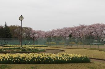 滝の城址公園の桜