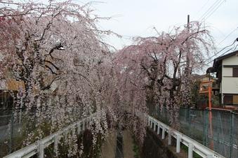 砂川掘のしだれ桜#387068
