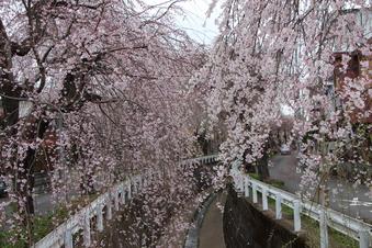 砂川掘のしだれ桜#387074
