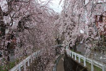 砂川掘のしだれ桜