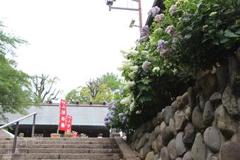 所澤神明社のアジサイ#387475