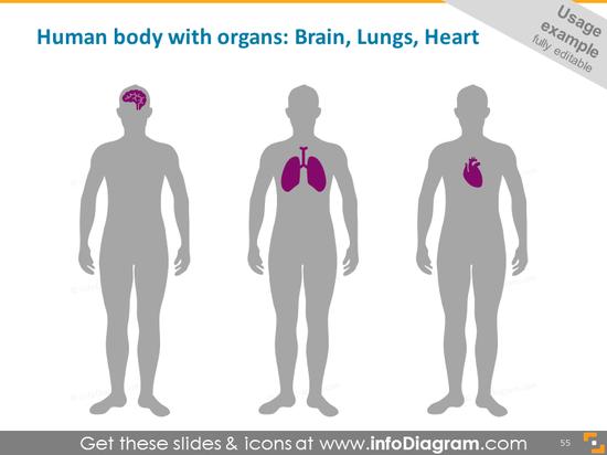 Organs: brain, lungs, heart