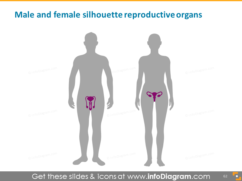 male female reproductive organs man woman PowerPoint