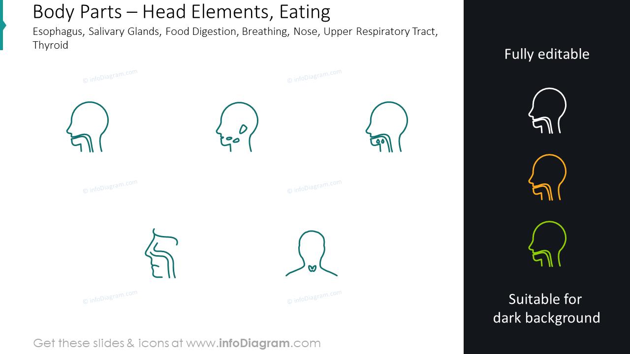 Head elements graphics: eating esophagus, salivary glands