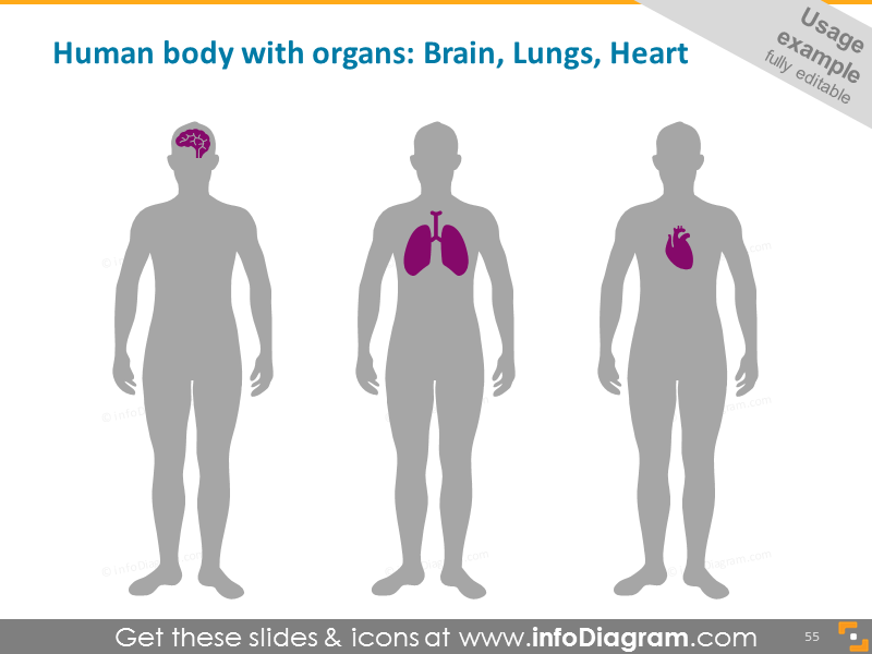 Organs: brain, lungs, heart