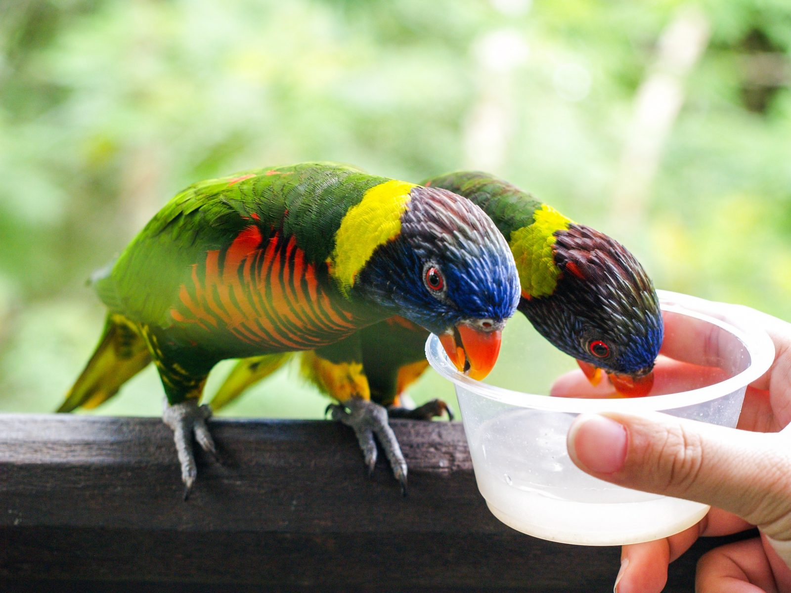 Feeding the lories at Jurong Bird Park is favored by many tourists