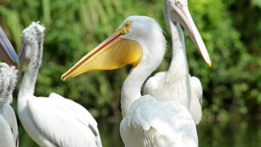 Different species of pelicans in Jurong Bird Park