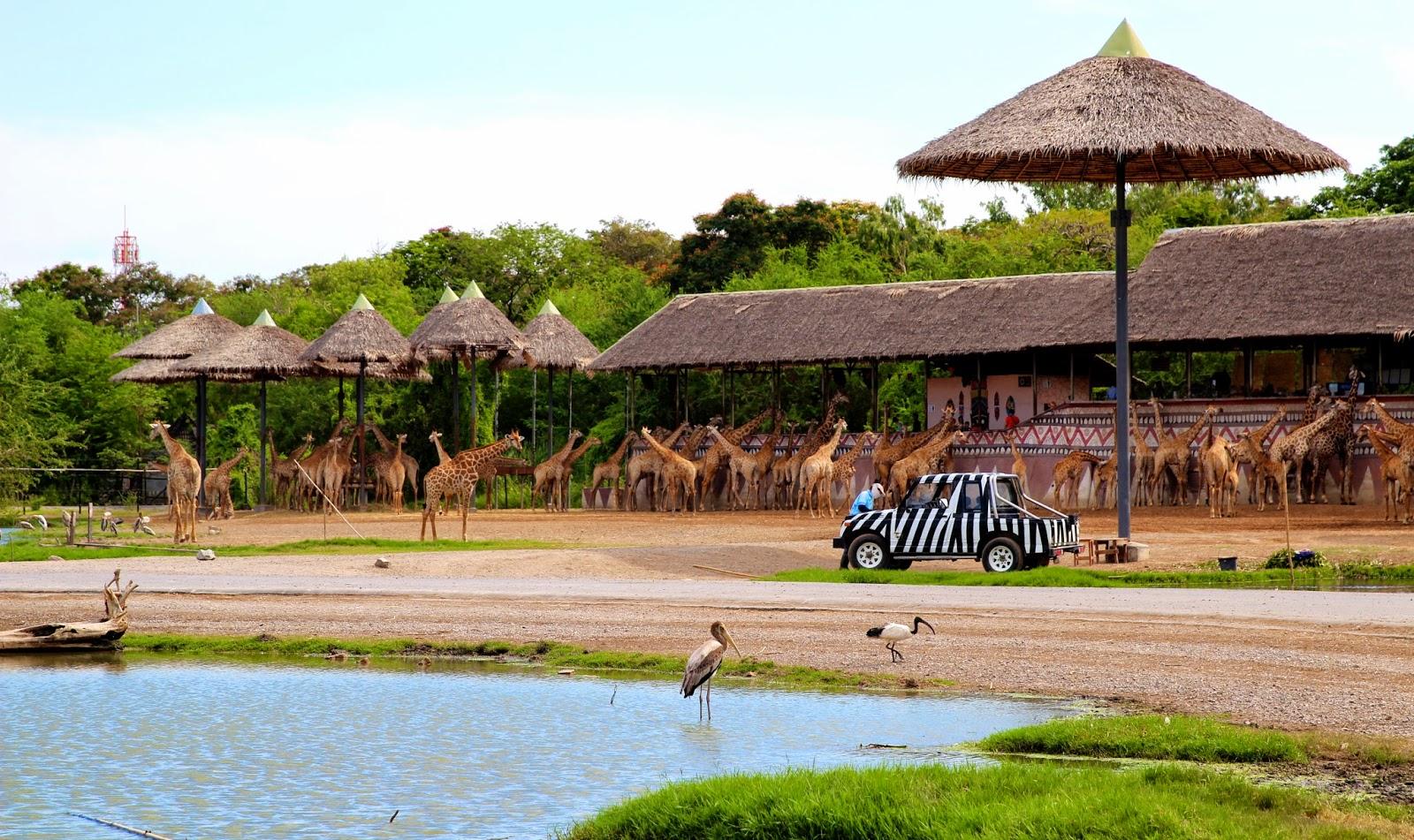 Giraffes at Safari World Bangkok