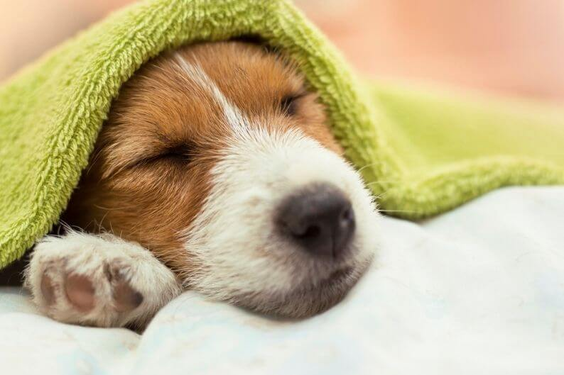 Jack russell puppy takes a nap after a long day at the groomer