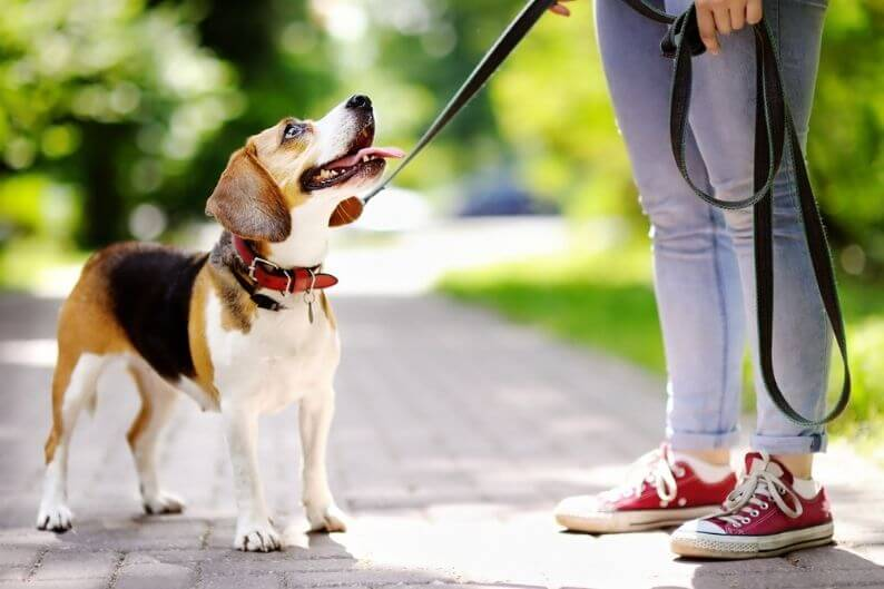 A young woman takes her beagle for a walk after visiting their favorite pet grooming franchise.