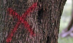Xylella, oltre 1,2 miliardi di danni alle piante