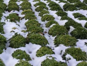 Maltempo: l'arrivo della neve salva le campagne dalla siccità