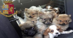 Traffico internazionale di cuccioli, sette arresti a Rimini