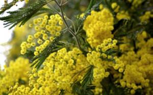 8 marzo: 12 milioni di mimose, +370% prezzi in una settimana