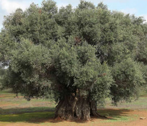 Xylella avanza 2 chilometri al mese, strage di 32 milioni di ulivi