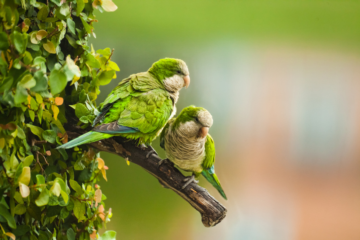 Closeup of a wild Monk Parakeet couple or Quaker Parrots in Miami, Florida.