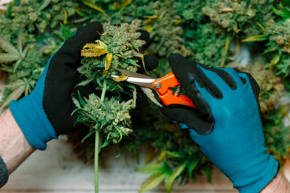 person-trimming-marijuana-plant