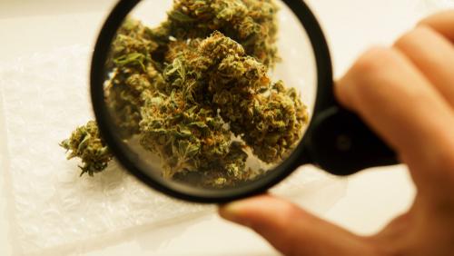 marijuana-under-magnifying-glass