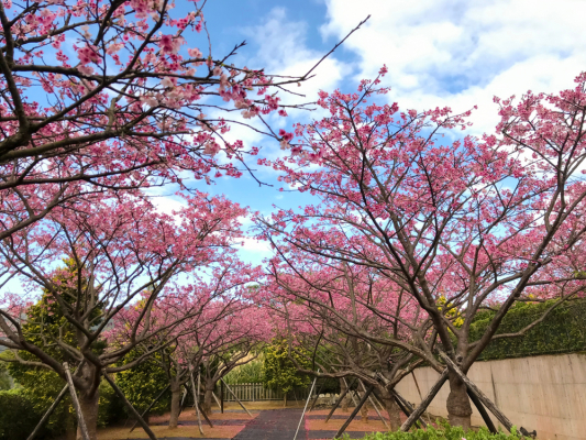 Yangmingshan National Park, Taipei Taiwan Cherry Blossoms Guide 2020