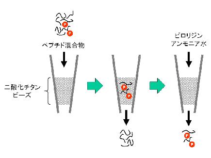 リン酸化プロテオミクス