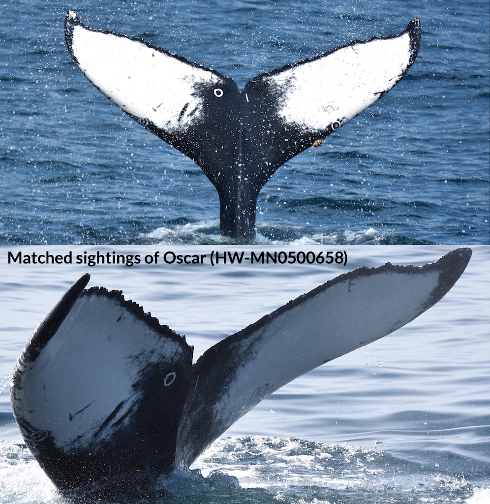Triplet Loss Network for Humpback Whale Prediction | Kaggle