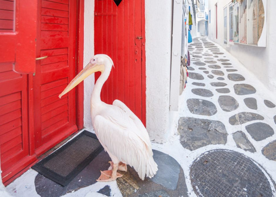 The story of Petros, the VIP (Very Important Pelican) of Mykonos
