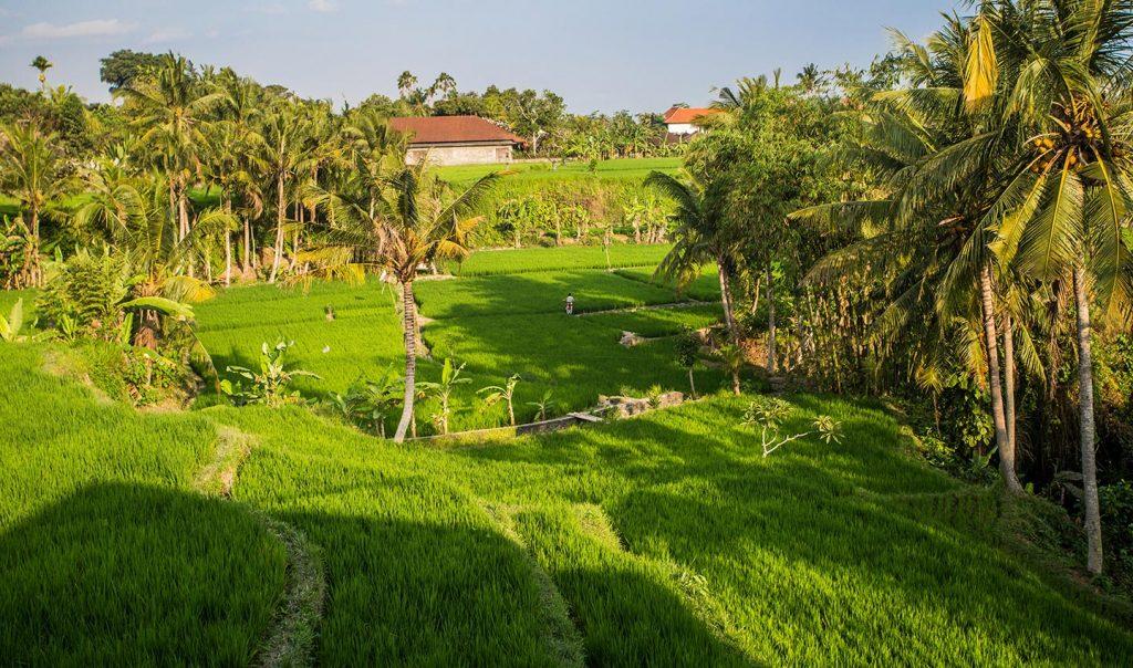 Karma Mayura Ricefield