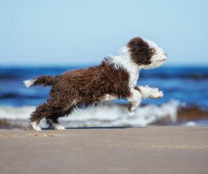 Espanjan vesikoira on yksi K9-sisäilmatutkimusryhmään kuuluvista koiraroduista.