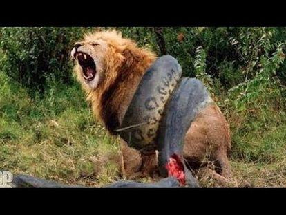 Image of: Petition Big Animals Caught In Fight Amazing Rare Animal Documentary Nat Geo Wildd7e1ec87 Animals Buzzblimp Com Nat Geo Wild Topic Youtube Animals Buzzblimp Com
