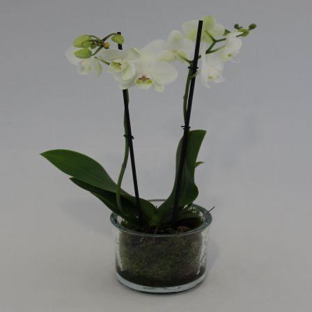 Weiße Orchidee im Glas