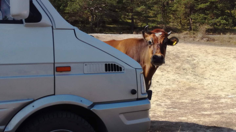 La vache venue