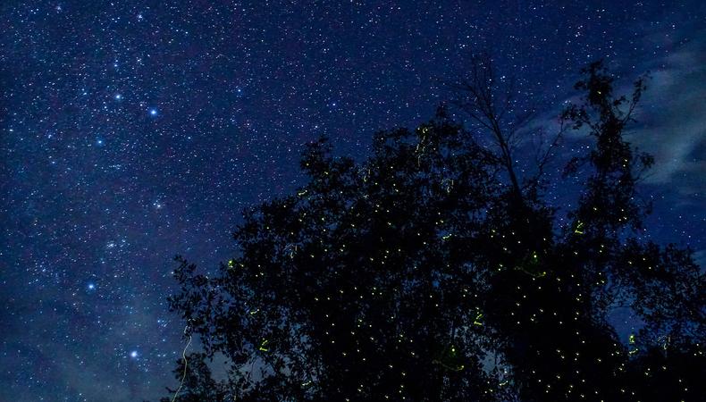熱帯のクリスマスツリー!クアラスランゴール川で蛍鑑賞