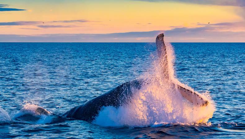オアフ島でダイナミックなザトウクジラを見たい!