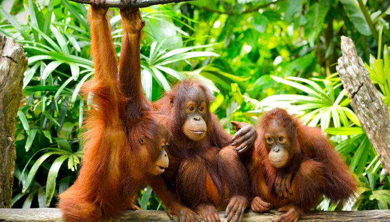 シンガポール動物園でオランウータンと朝食??