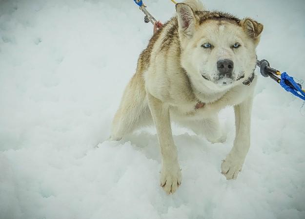https://pixabay.com/photos/sled-dogs-alaska-dog-sled-sled-dog-363722/