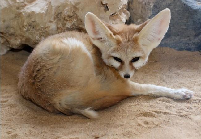 https://pixabay.com/sv/photos/%C3%B6kenr%C3%A4v-djur-djurliv-fennek-5736089/