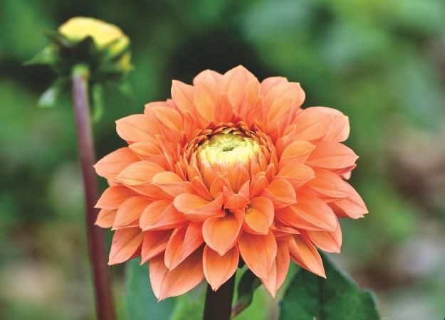 https://pixabay.com/sv/photos/dahlia-dahlior-bud-blomma-bud-4383005/