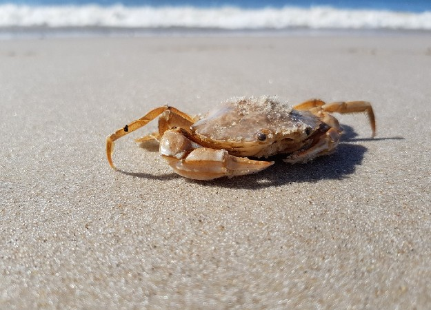 https://pixabay.com/sv/photos/cancer-djur-krabba-meeresbewohner-2775519/
