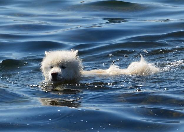 https://pixabay.com/sv/photos/hund-vatten-hundsim-hundbad-simma-4307559/