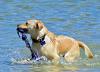 https://pixabay.com/sv/photos/hund-att-bada-i-havet-h%c3%a4mta-2384297/