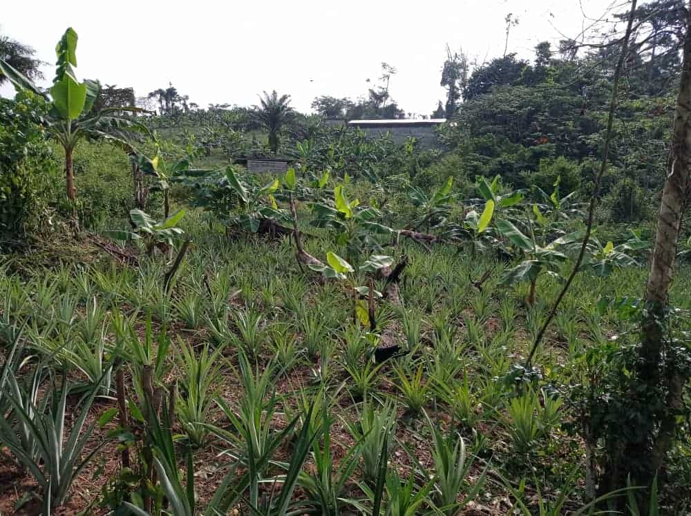 Land for sale at Douala, PK 27, PK 33 (DIWOUM) - 35000 m2 - 1 000 000 FCFA