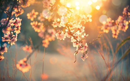 Blossoms on a tree with sunburst