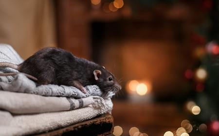 A mouse sitting atop some blankets in a home.