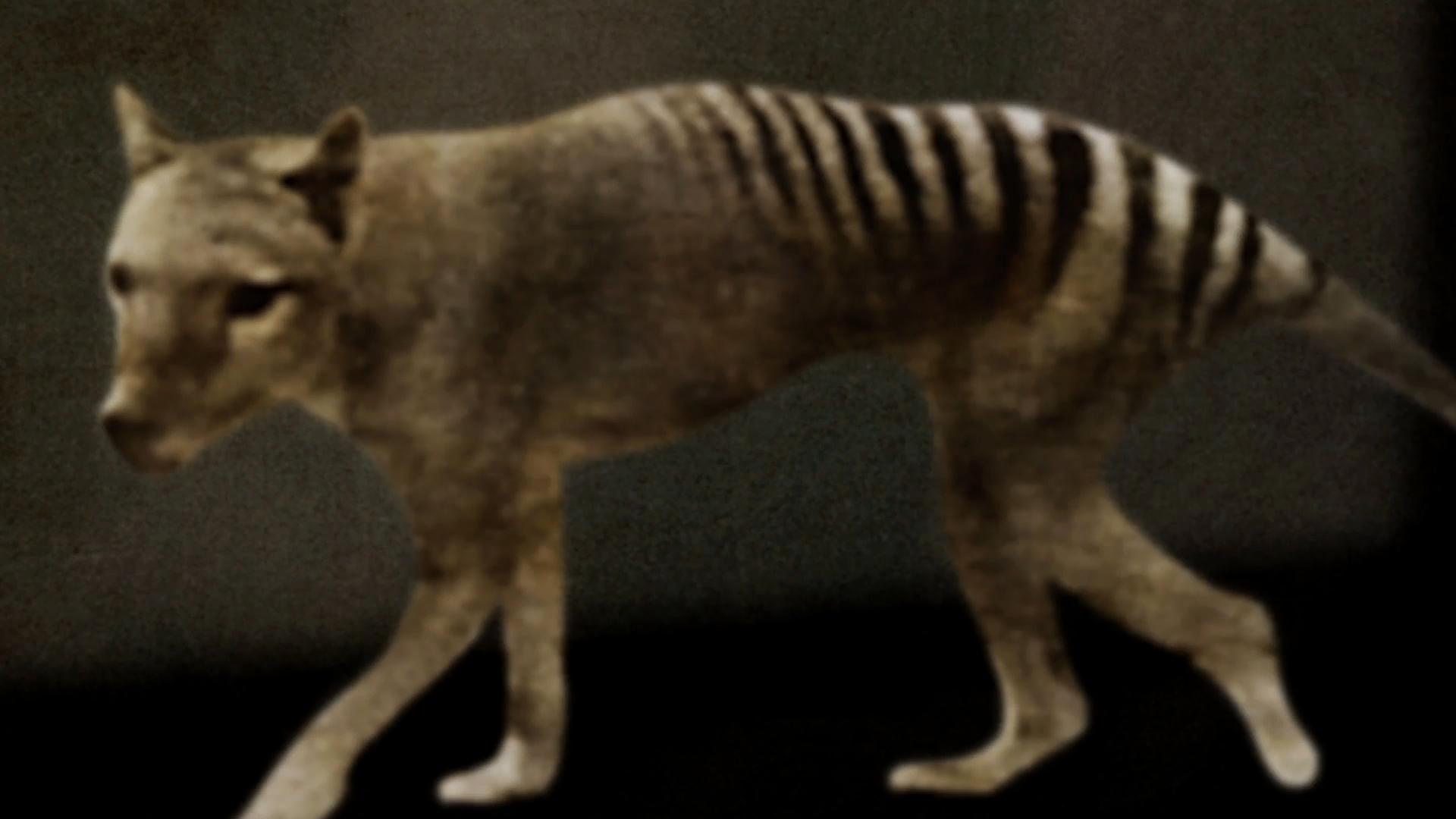 Le Tigre de Tasmanie (The Tasmanian Tiger)