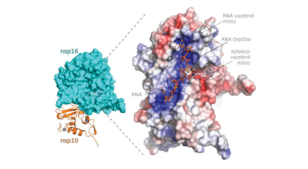 Vědci popsali strukturu proteinů nového koronaviru vhodných pro návrh nových léků